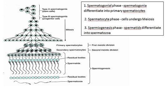 Spermatogenesis flow chart more information spermatogenesis spermatogenesis flow chart ccuart Images